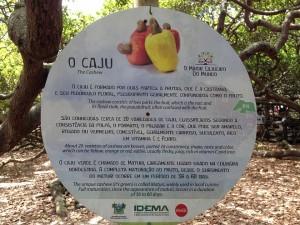 largest cashew tree brazil