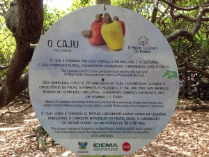 largest cashew tree brazil