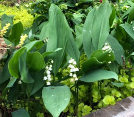 lily of the valley and creeping jenny