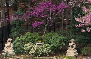 oklahoma redbud with dwarf pieris